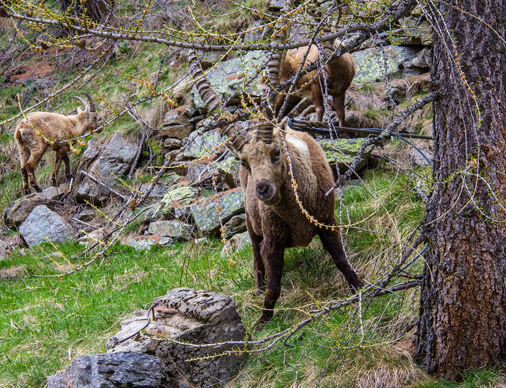 Ibex found in the Valoise national park